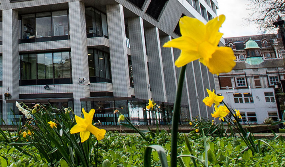 Close up shot of dafodils with corner of hospital building behind